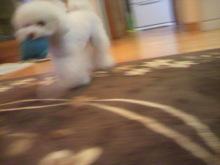 愛犬鈴ちゃん~トイプードル☆ライフスタイル~-2012042420470001.jpg