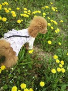 愛犬鈴ちゃん~トイプードル☆ライフスタイル~-2012042612390001.jpg