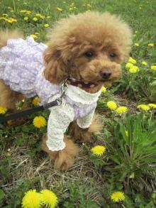 愛犬鈴ちゃん~トイプードル☆ライフスタイル~-2012042612420000.jpg