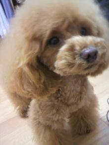 愛犬鈴ちゃん~トイプードル☆ライフスタイル~-2012042716230001.jpg