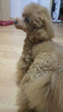 愛犬鈴ちゃん~トイプードル☆ライフスタイル~-2012042716390000.jpg