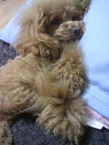 愛犬鈴ちゃん~トイプードル☆ライフスタイル~-2012042716510000.jpg