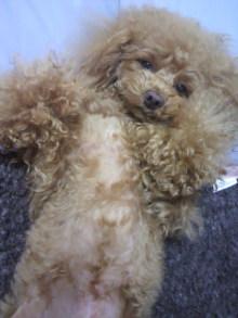 愛犬鈴ちゃん~トイプードル☆ライフスタイル~-2012042716520000.jpg