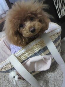 愛犬鈴ちゃん~トイプードル☆ライフスタイル~-2012042908490000.jpg