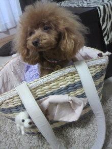 愛犬鈴ちゃん~トイプードル☆ライフスタイル~-2012042908500001.jpg