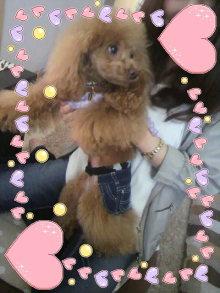 愛犬鈴ちゃん~トイプードル☆ライフスタイル~-2012042911510000.jpg