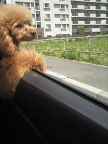 愛犬鈴ちゃん~トイプードル☆ライフスタイル~-2012042910230001.jpg