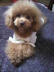 愛犬鈴ちゃん~トイプードル☆ライフスタイル~-2012043009120000.jpg