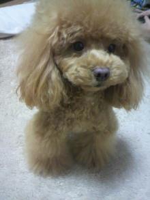 愛犬鈴ちゃん~トイプードル☆ライフスタイル~-2012030117120001.jpg