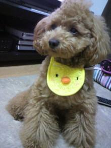 愛犬鈴ちゃん~トイプードル☆ライフスタイル~-2011041600020000.jpg