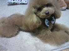 愛犬鈴ちゃん~トイプードル☆ライフスタイル~-2012030117050000.jpg
