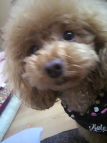 愛犬鈴ちゃん~トイプードル☆ライフスタイル~-2012050208190002.jpg