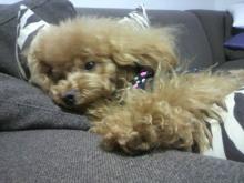 愛犬鈴ちゃん~トイプードル☆ライフスタイル~-2012050218140003.jpg