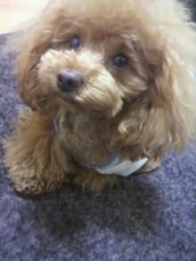 愛犬鈴ちゃん~トイプードル☆ライフスタイル~-2012050223220002.jpg
