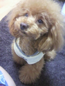 愛犬鈴ちゃん~トイプードル☆ライフスタイル~-2012050223210000.jpg