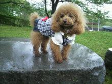 愛犬鈴ちゃん~トイプードル☆ライフスタイル~-2012050409440000.jpg