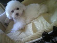 愛犬鈴ちゃん~トイプードル☆ライフスタイル~-2012050516320000.jpg