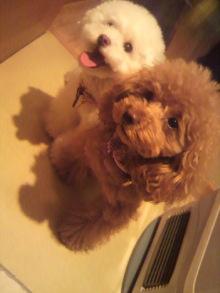 愛犬鈴ちゃん~トイプードル☆ライフスタイル~-2012050517260000.jpg