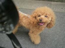 愛犬鈴ちゃん~トイプードル☆ライフスタイル~-2012050711340000.jpg