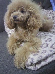 愛犬鈴ちゃん~トイプードル☆ライフスタイル~-2012050715260001.jpg