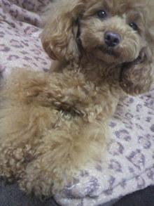 愛犬鈴ちゃん~トイプードル☆ライフスタイル~-2012050715260002.jpg