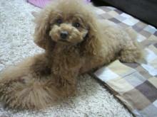 愛犬鈴ちゃん~トイプードル☆ライフスタイル~-2012050716030002.jpg