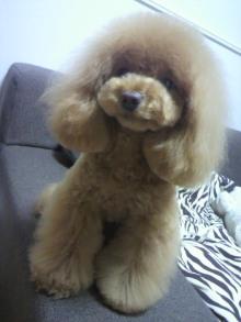 愛犬鈴ちゃん~トイプードル☆ライフスタイル~-2012050719070000.jpg