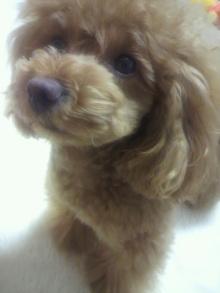 愛犬鈴ちゃん~トイプードル☆ライフスタイル~-2012051022540001.jpg