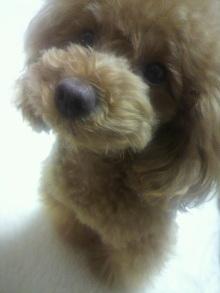 愛犬鈴ちゃん~トイプードル☆ライフスタイル~-2012051022550000.jpg
