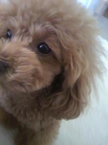 愛犬鈴ちゃん~トイプードル☆ライフスタイル~-2012051110170000.jpg
