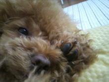 愛犬鈴ちゃん~トイプードル☆ライフスタイル~-2012051114330000.jpg