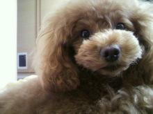 愛犬鈴ちゃん~トイプードル☆ライフスタイル~-2012051114310000.jpg