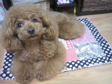 愛犬鈴ちゃん~トイプードル☆ライフスタイル~-2012051117510000.jpg