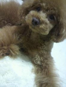愛犬鈴ちゃん~トイプードル☆ライフスタイル~-2012051521180000.jpg