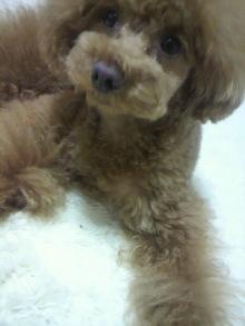 愛犬鈴ちゃん~トイプードル☆ライフスタイル~-2012051521180001.jpg