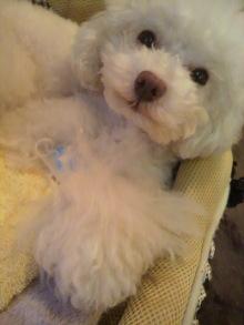 愛犬鈴ちゃん~トイプードル☆ライフスタイル~-2012051818330001.jpg