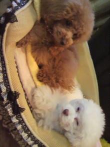 愛犬鈴ちゃん~トイプードル☆ライフスタイル~-2012051818330000.jpg