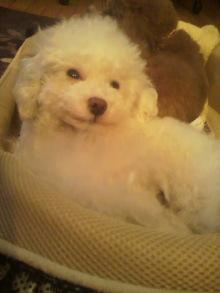 愛犬鈴ちゃん~トイプードル☆ライフスタイル~-2012051902380000.jpg