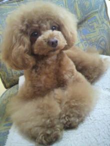 愛犬鈴ちゃん~トイプードル☆ライフスタイル~-2012051911540001.jpg