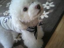 愛犬鈴ちゃん~トイプードル☆ライフスタイル~-2012052009320000.jpg