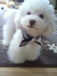 愛犬鈴ちゃん~トイプードル☆ライフスタイル~-2012052009310000.jpg