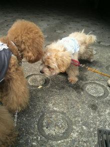 愛犬鈴ちゃん~トイプードル☆ライフスタイル~-2012052013320000.jpg