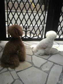 愛犬鈴ちゃん~トイプードル☆ライフスタイル~-2012052110480000.jpg