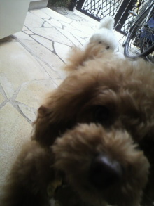 愛犬鈴ちゃん~トイプードル☆ライフスタイル~-2012052110500001.jpg