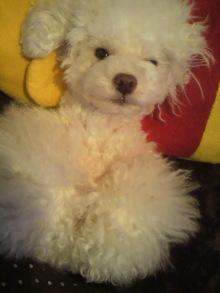 愛犬鈴ちゃん~トイプードル☆ライフスタイル~-2012052200580000.jpg