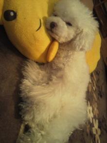 愛犬鈴ちゃん~トイプードル☆ライフスタイル~-2012052200590000.jpg