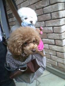 愛犬鈴ちゃん~トイプードル☆ライフスタイル~-2012052508310001.jpg