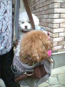 愛犬鈴ちゃん~トイプードル☆ライフスタイル~-2012052508310002.jpg