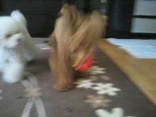 愛犬鈴ちゃん~トイプードル☆ライフスタイル~-2012052508210000.jpg