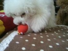 愛犬鈴ちゃん~トイプードル☆ライフスタイル~-2012052508180000.jpg